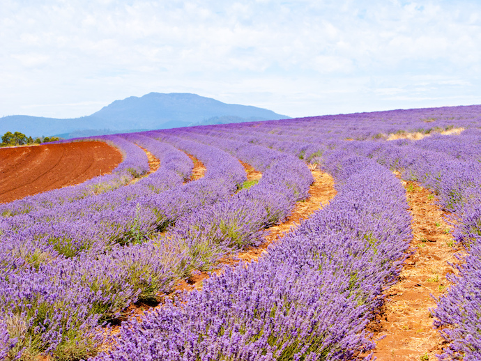 Lavender farm in Tasmania Australia.shutterstock_74388217