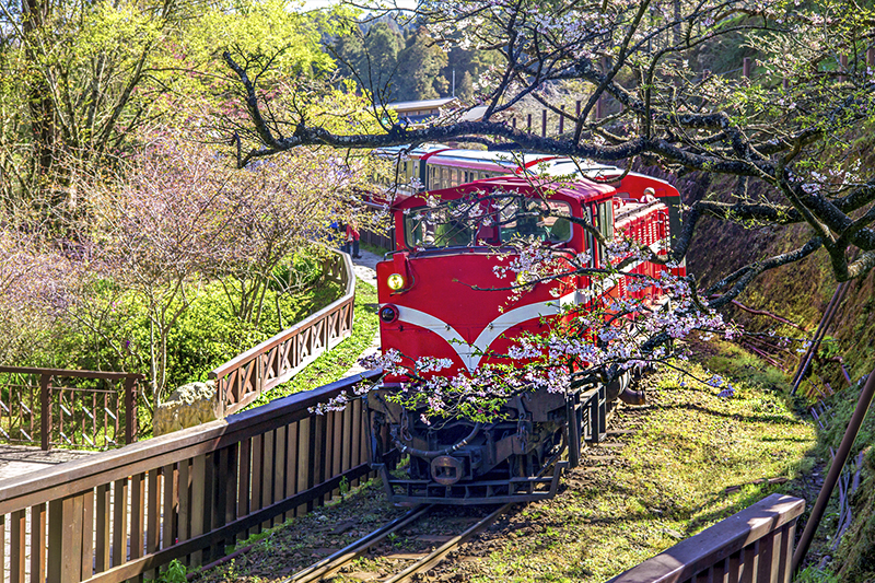 Train passes through the cherry blossoms at Alishan National Scenic Area
