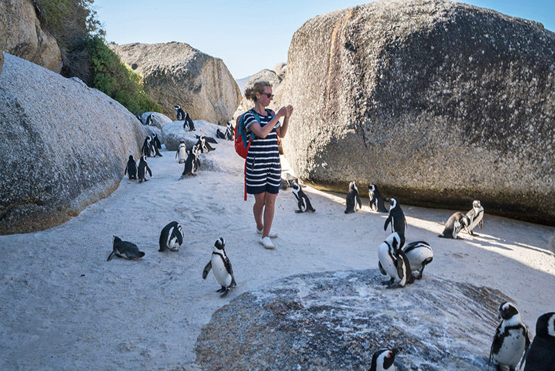 Young eco-traveller at Boulder's Beach, South Africa taking a smart phone picture of African penguins.