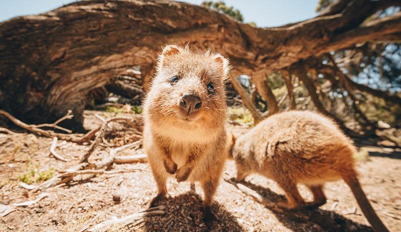 Quokkas on Rottnest Island, Australia