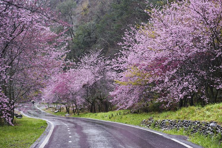 Wuling Road in Taichung surrounded by cherry trees