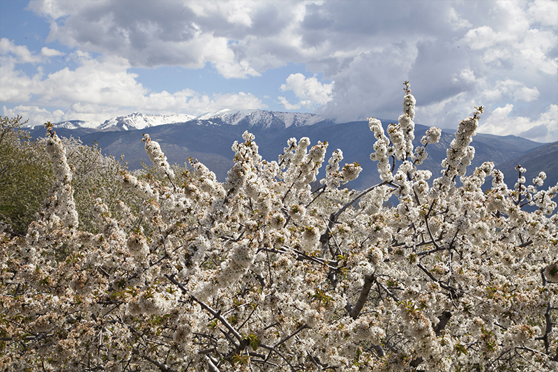 Cherry Blossoms in Jerte Valley, Spain
