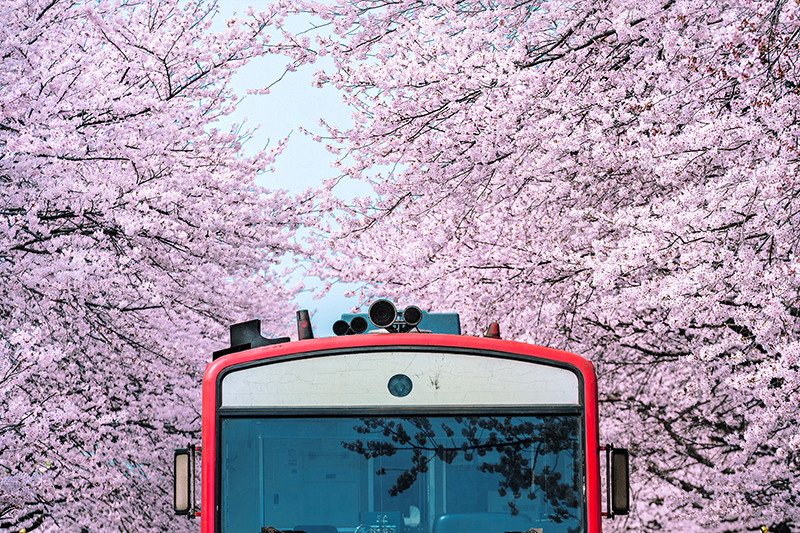 Cherry Blossoms at Gyeonghwa Station, Jinhae