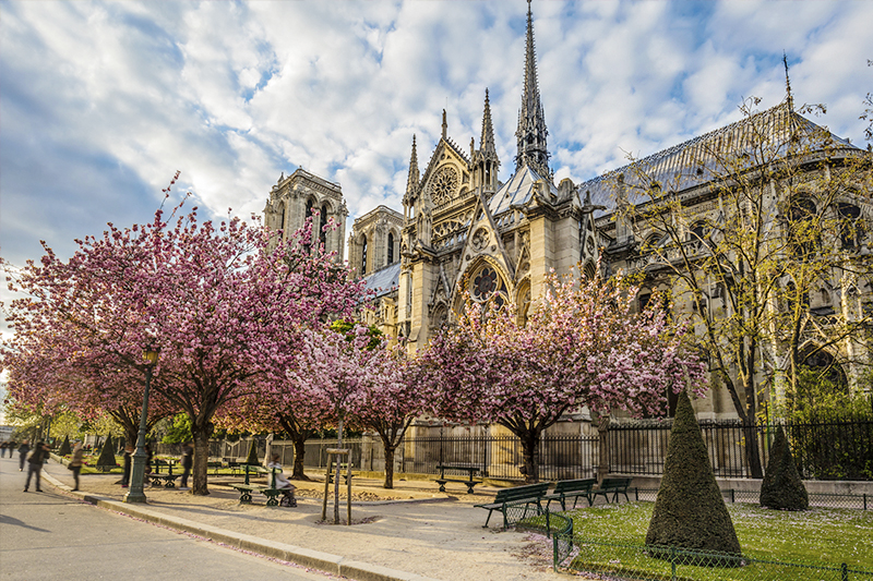 Cherry blossoms in front of Notre Dame Cathedral, Paris France